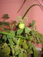 Tomatosaikai