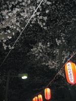 Yozakuro1